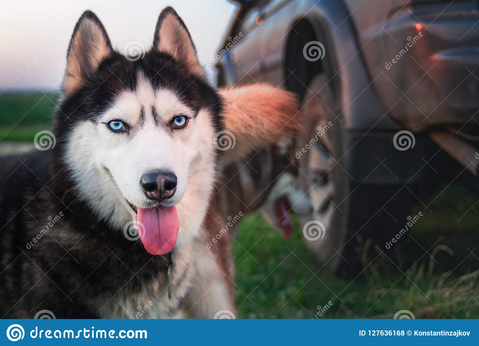 Happy husky dog. Beauty portrait Siberian husky with bright blue eyes. Copy space.