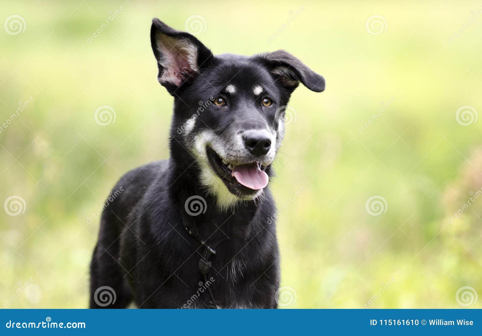 Happy Husky mix breed dog, pet rescue adoption photography