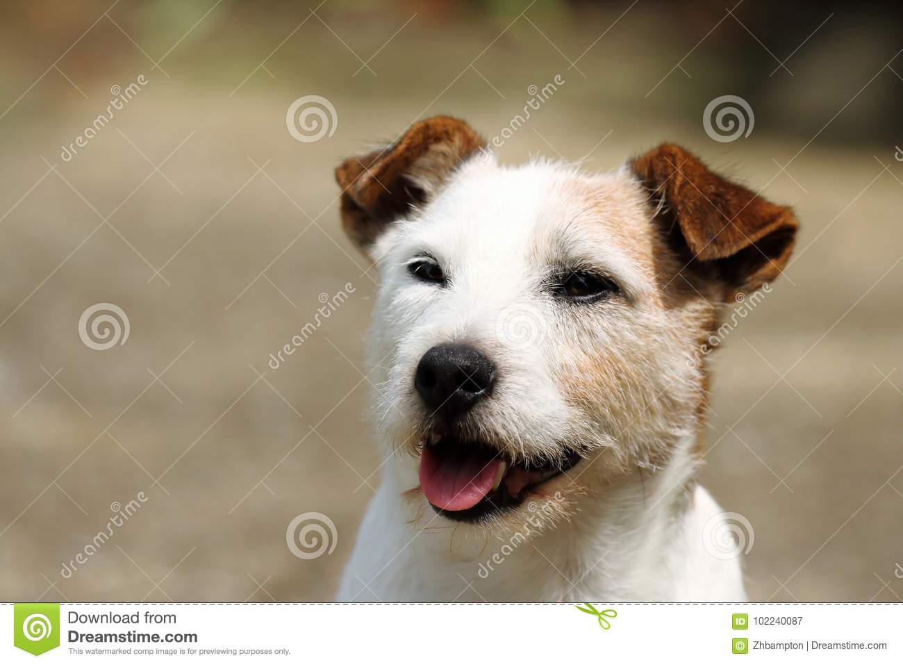 Happy Jack Russell