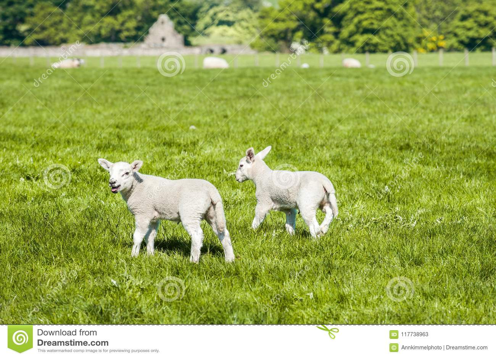 Happy Little Cute New Born Lambs Running On Spring Field