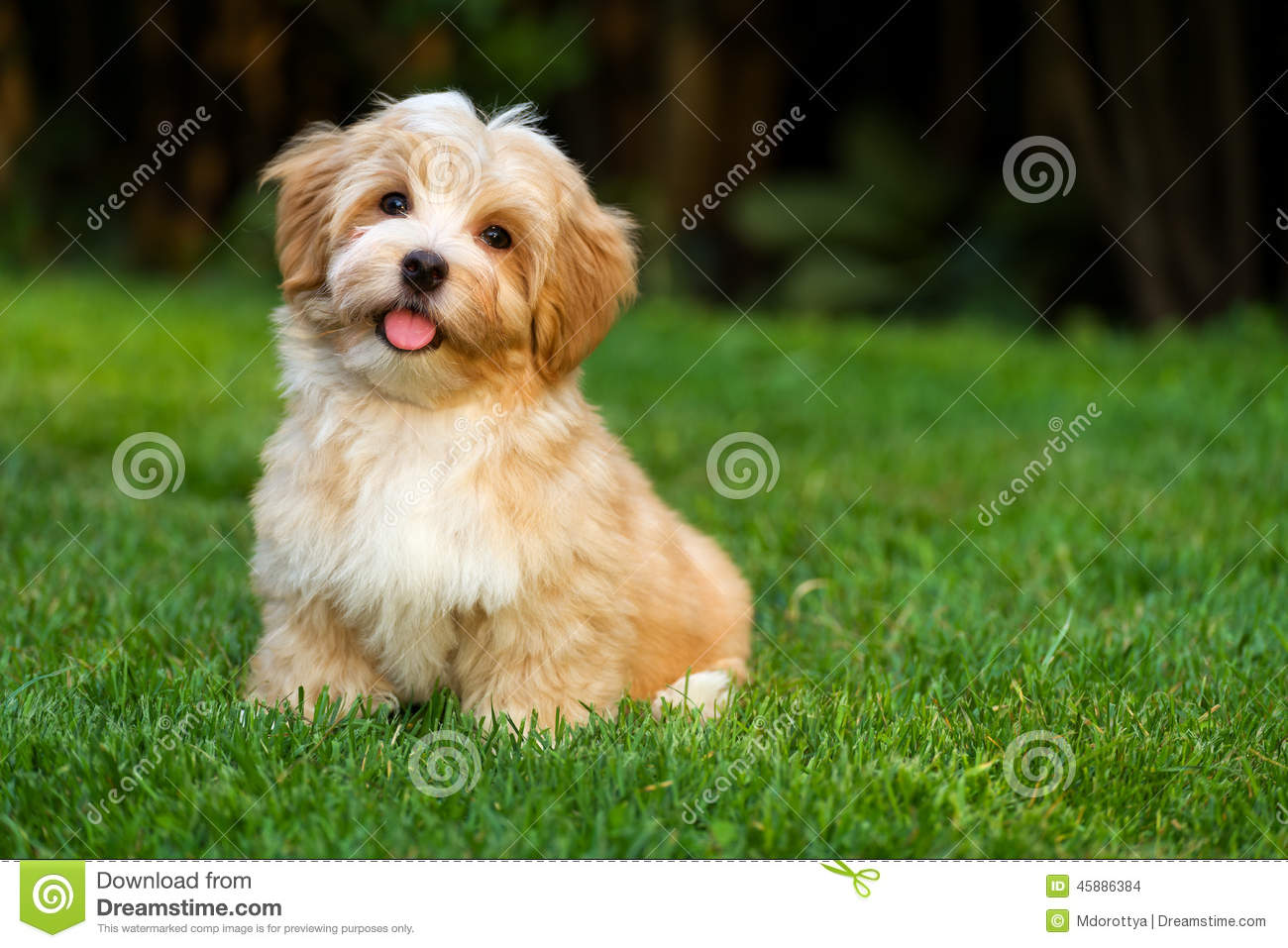 Happy little havanese puppy is sitting in the grass