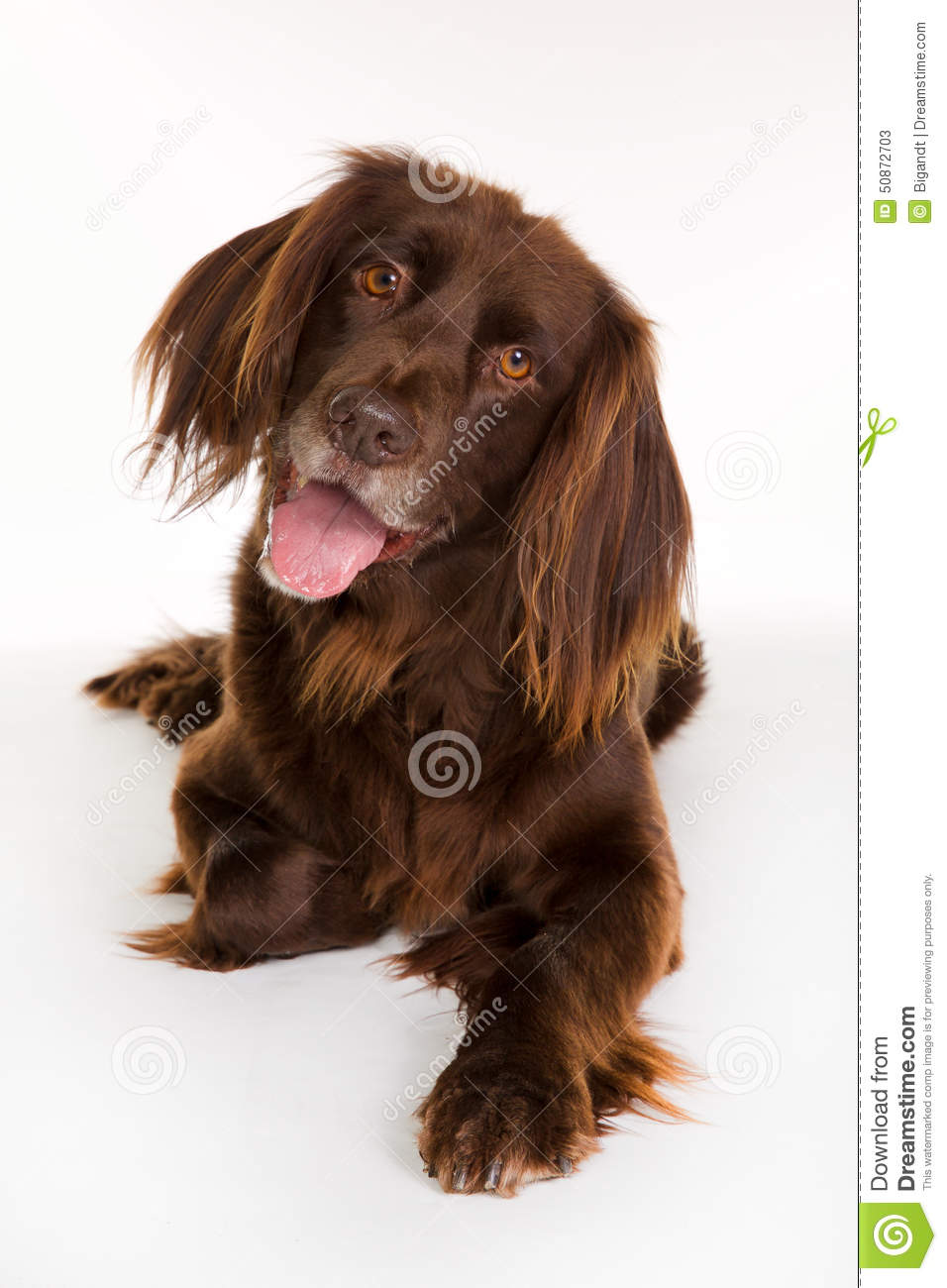 Happy longhaired pointer dog