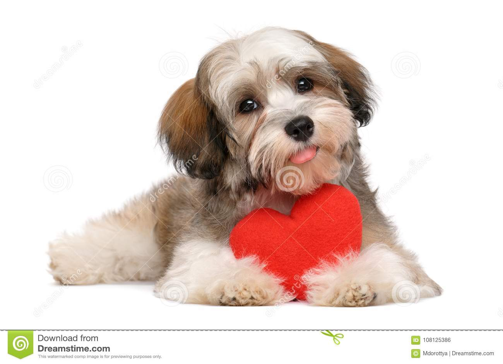 Happy lover valentine havanese puppy