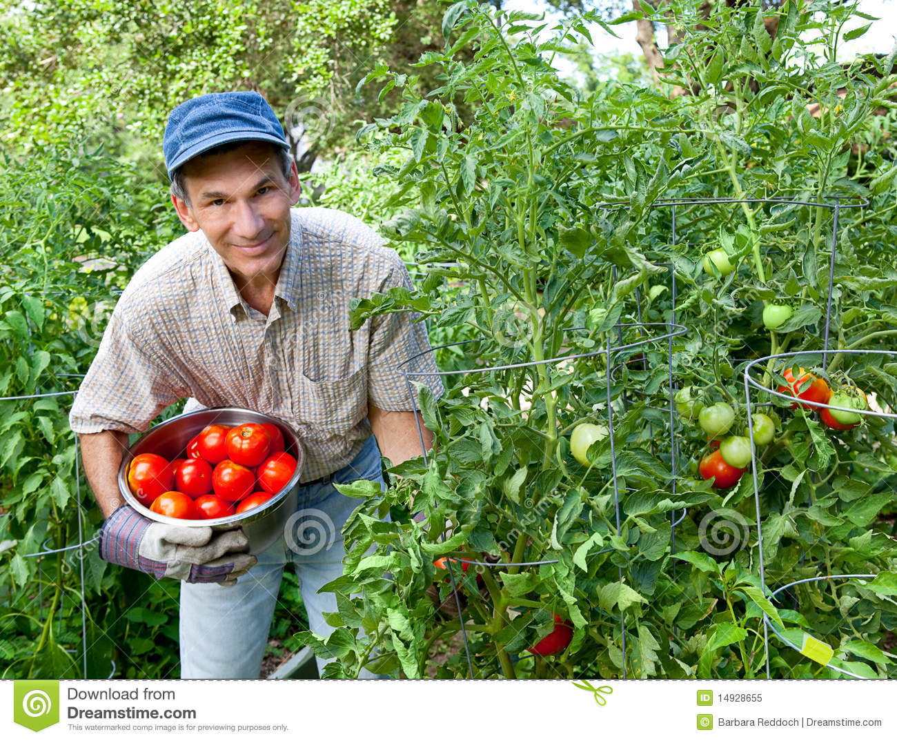 happy-man-picking-tomatoes-his-vegetable