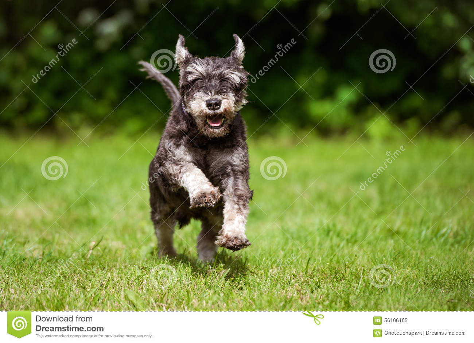 Happy miniature schnauzer dog running on grass