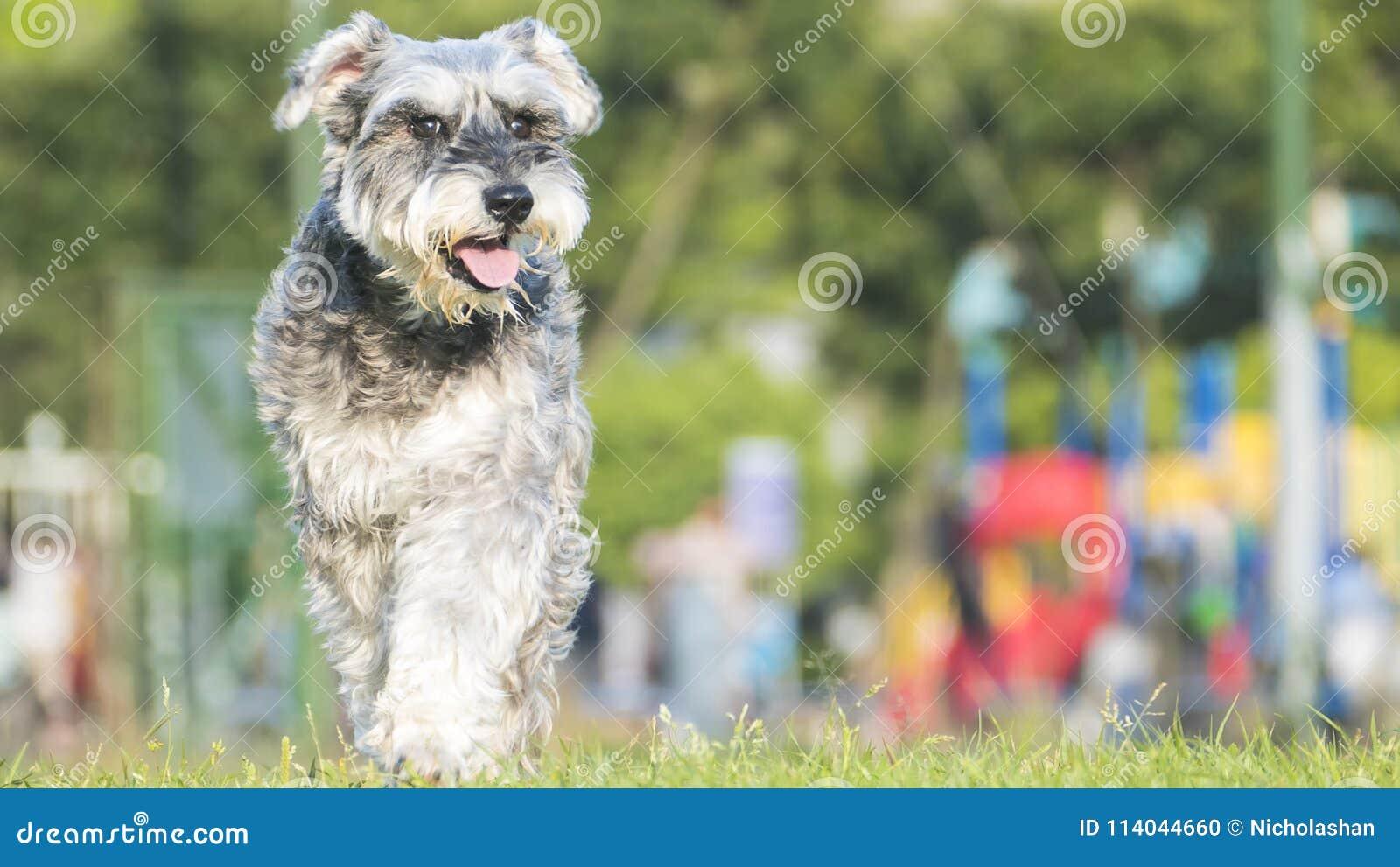 Happy miniature, schnauzer puppy running with nice background co