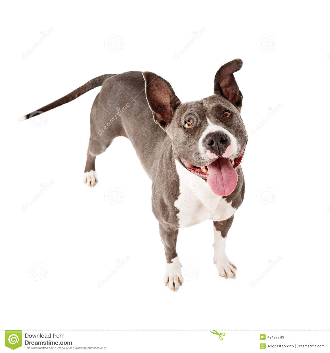 Happy Pit Bull Dog Standing Looking Up Stock Photo Image