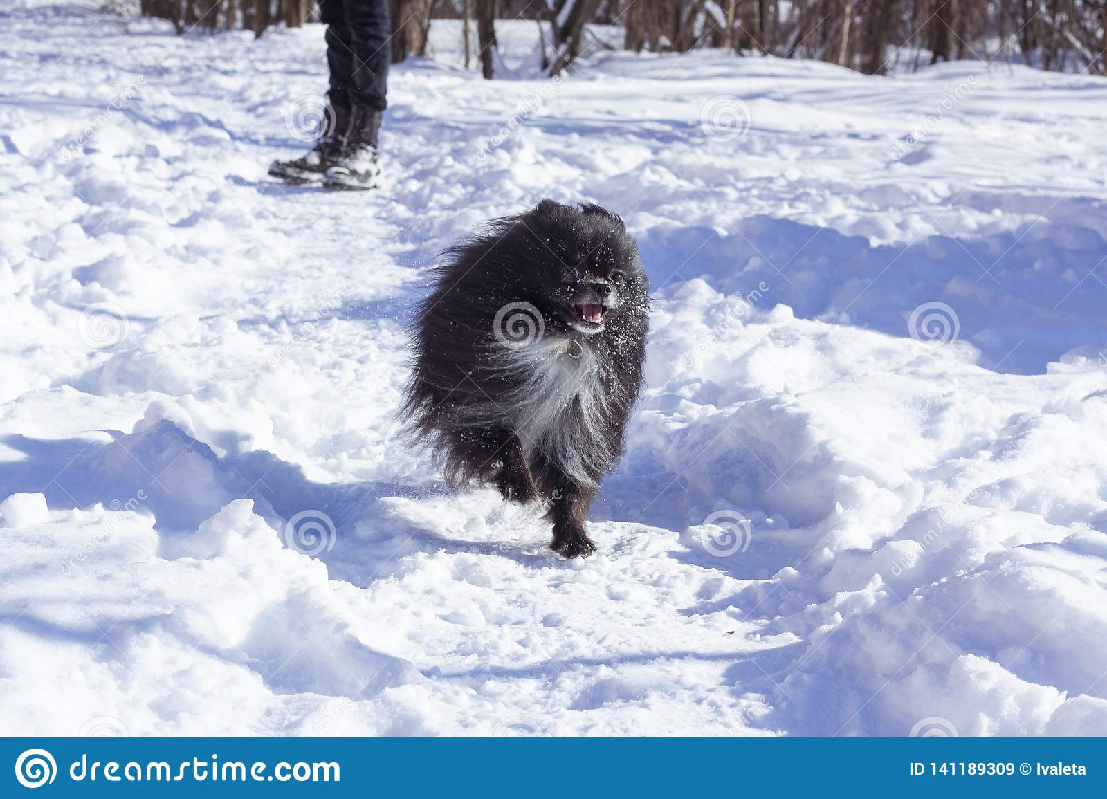 Happy Pomeranian dog. Winter pomeranian dog. Black pomeranian dog.