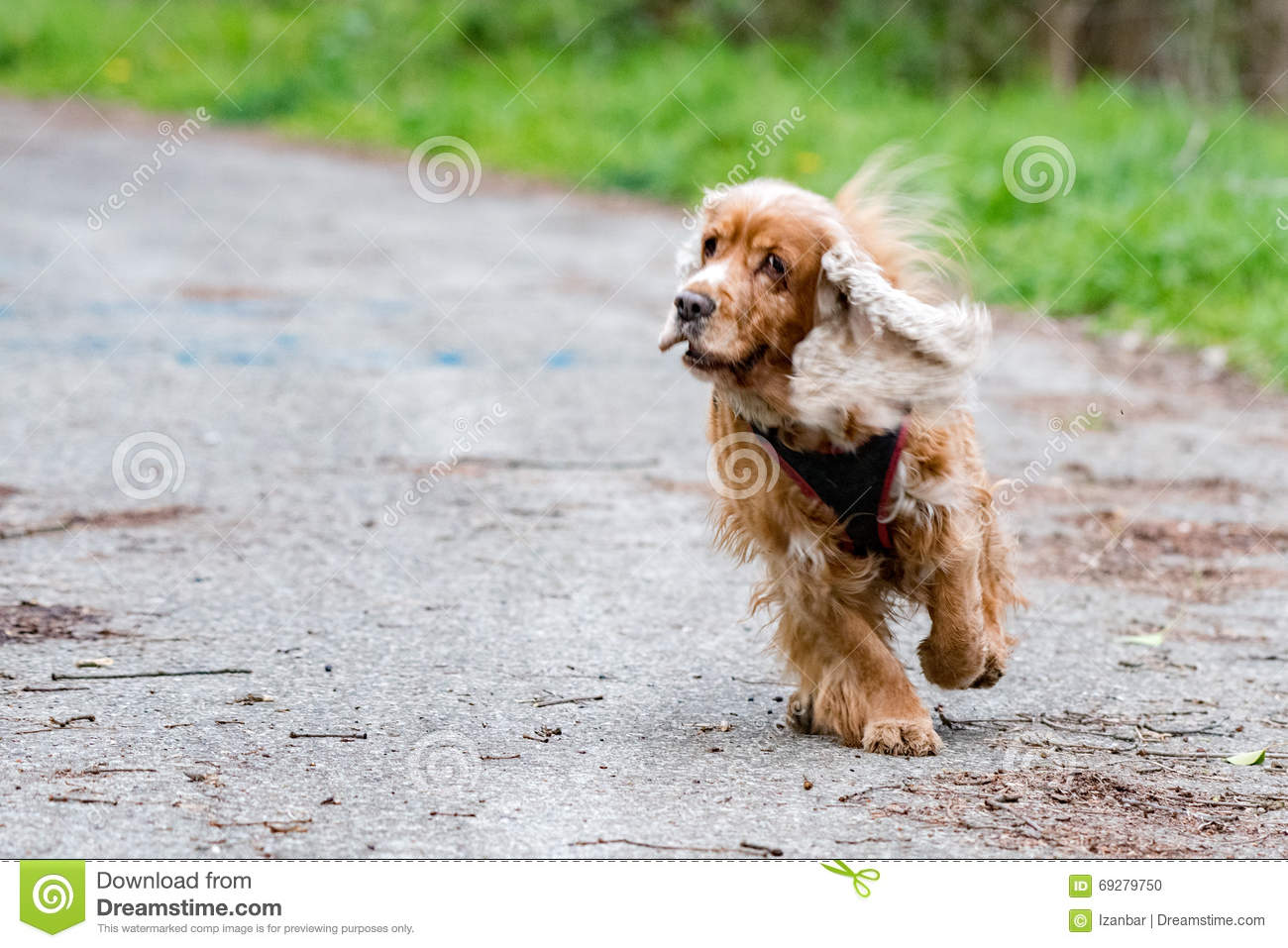 Happy Puppy Dog Running To You Stock Photo Image Of Purebred