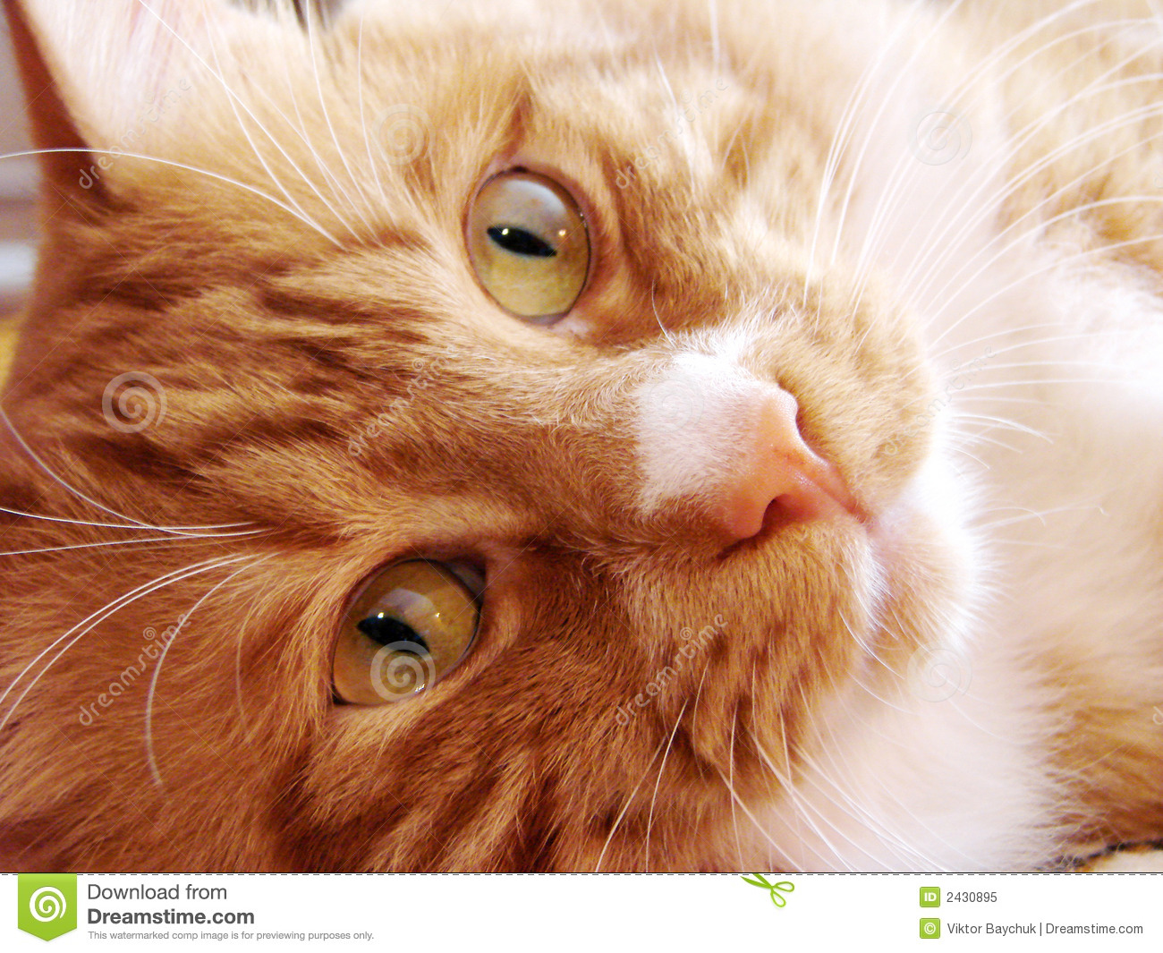 Happy Red Cat With Green Eyes Stock Image Image Of