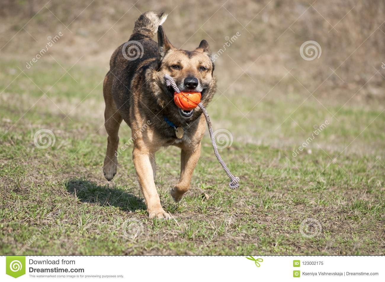 Happy run dog playing with ball