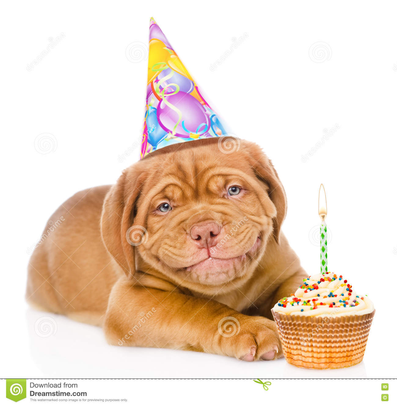 Happy smiling Bordeaux puppy dog with birthday hat and cake. isolated