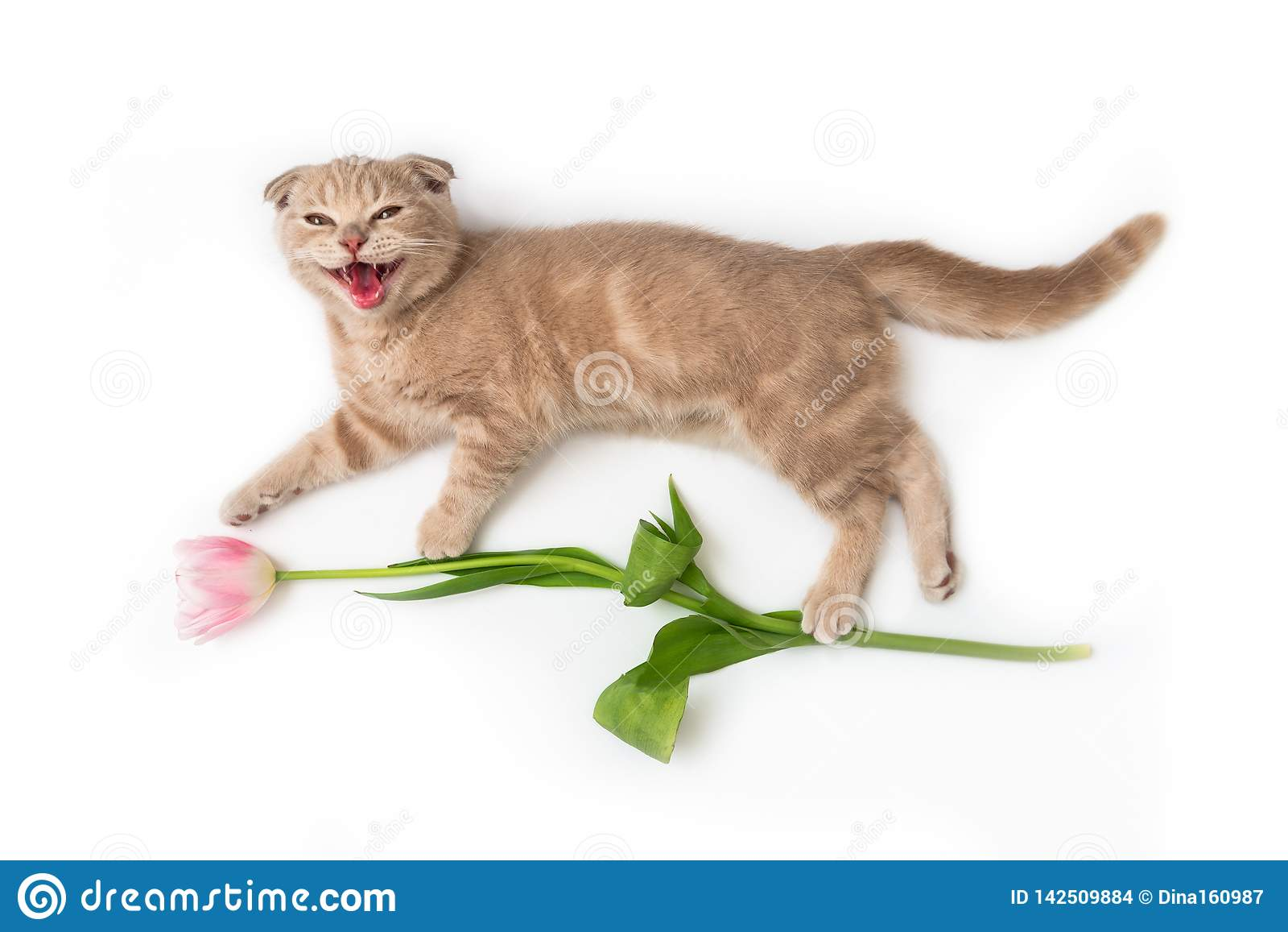 Happy smiling cat with a tulip in his paws. Holiday card creative concept, spring banner, flowers shop advertising. Happy birthday