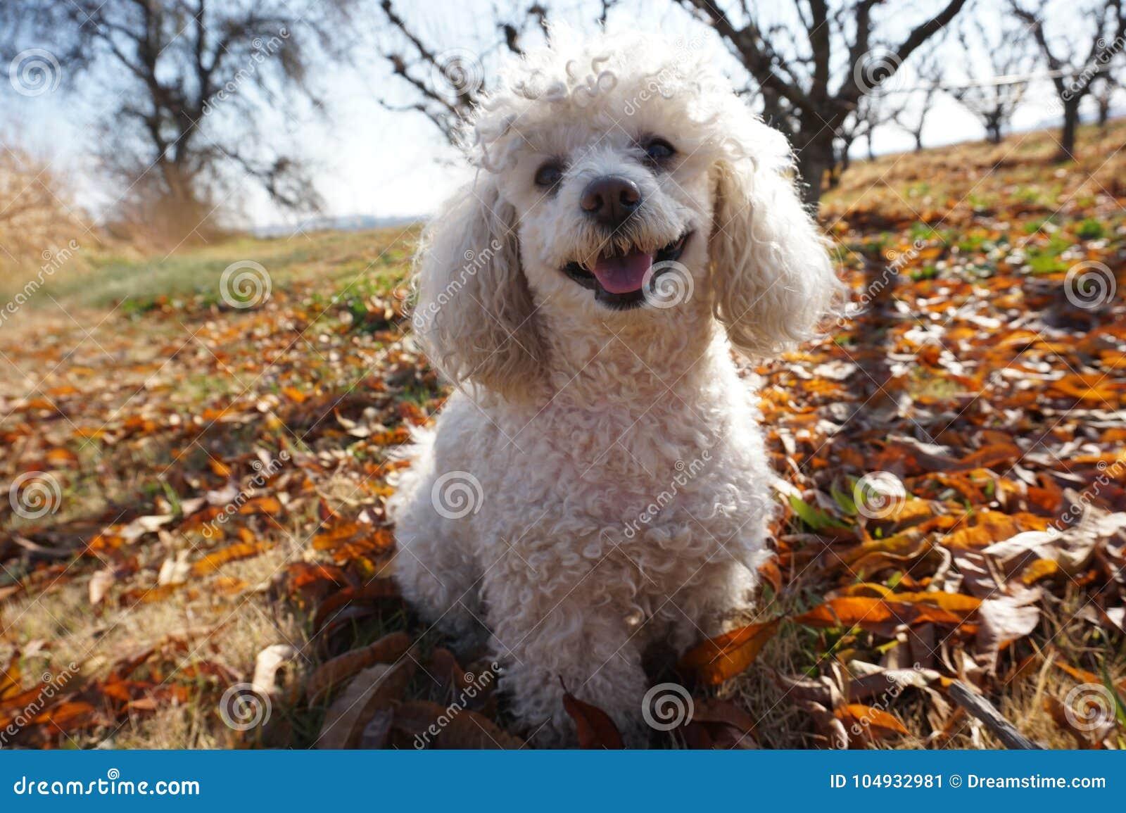 White poodle dog smiling happily