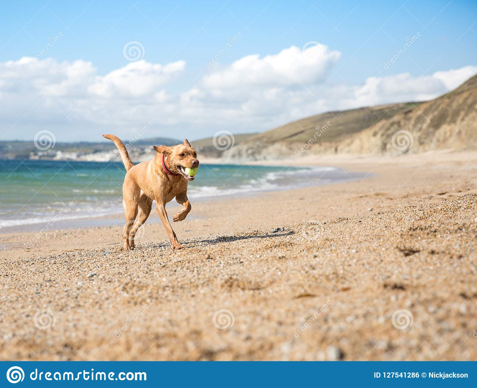 Yellow Labrador retriever dog playing fetch on a sandy beach