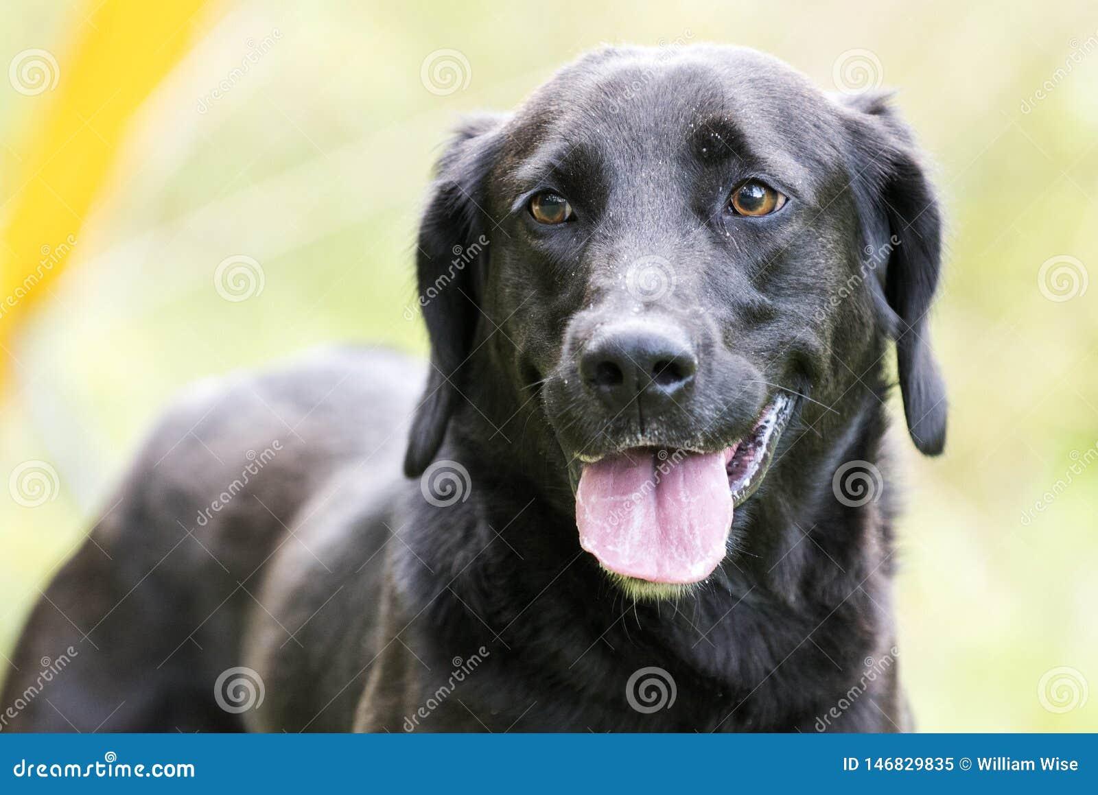Black Labrador Retriever Dog Panting Stock Image - Image of