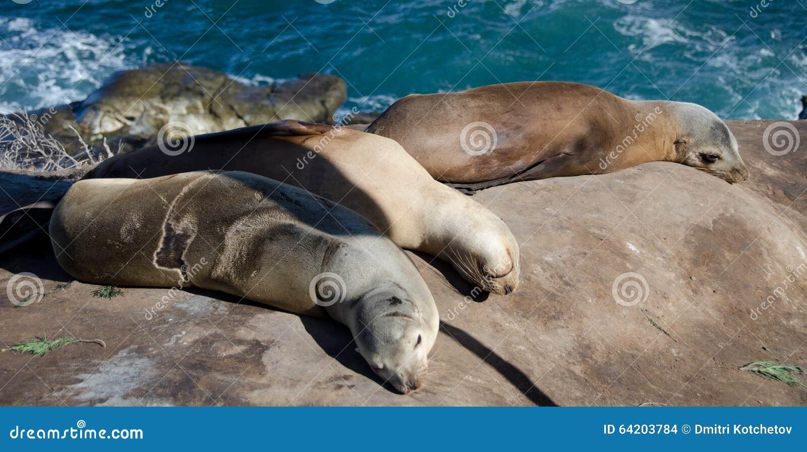 Harén del león marino cerca del punto La Jolla