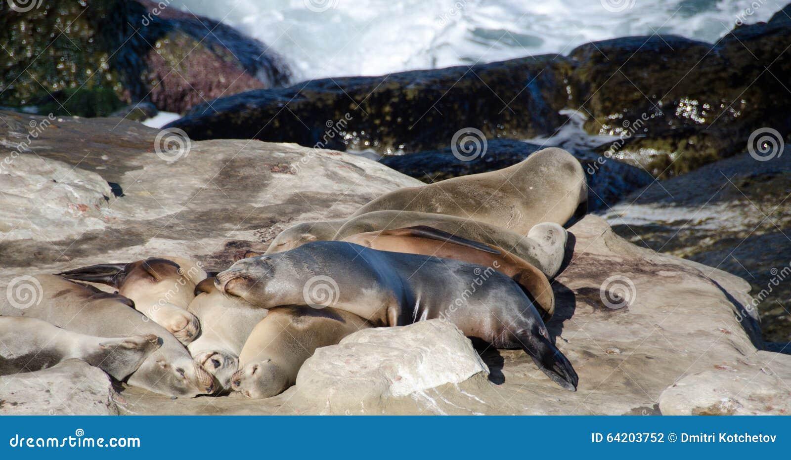 Harén del león marino grande cerca del punto La Jolla