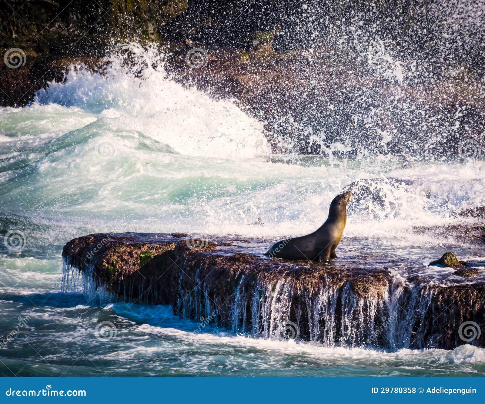 Sea Lion, Surf, La Jolla, California