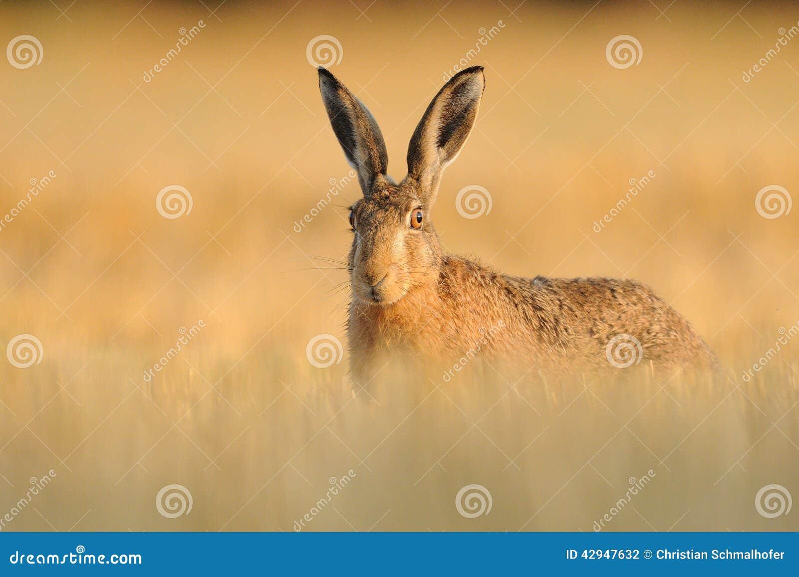 Hare in the Cornfield