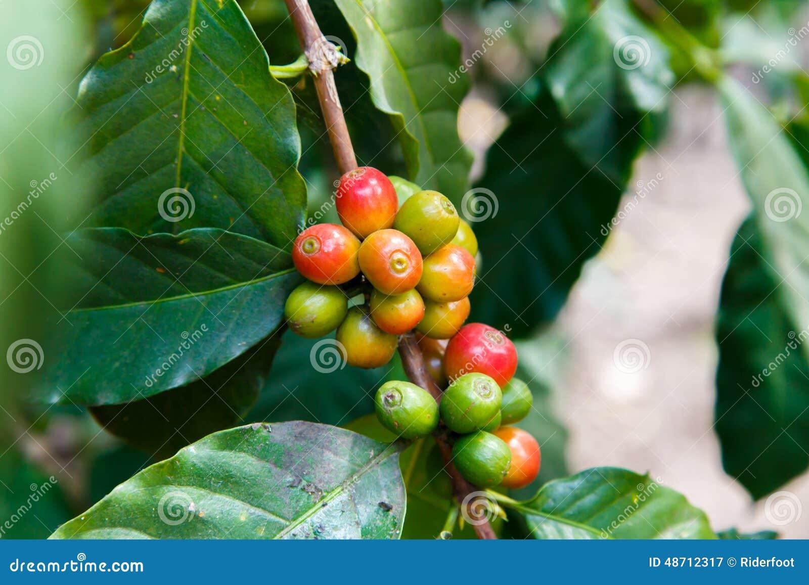 Haricots de Coffe mûrissant sur la branche