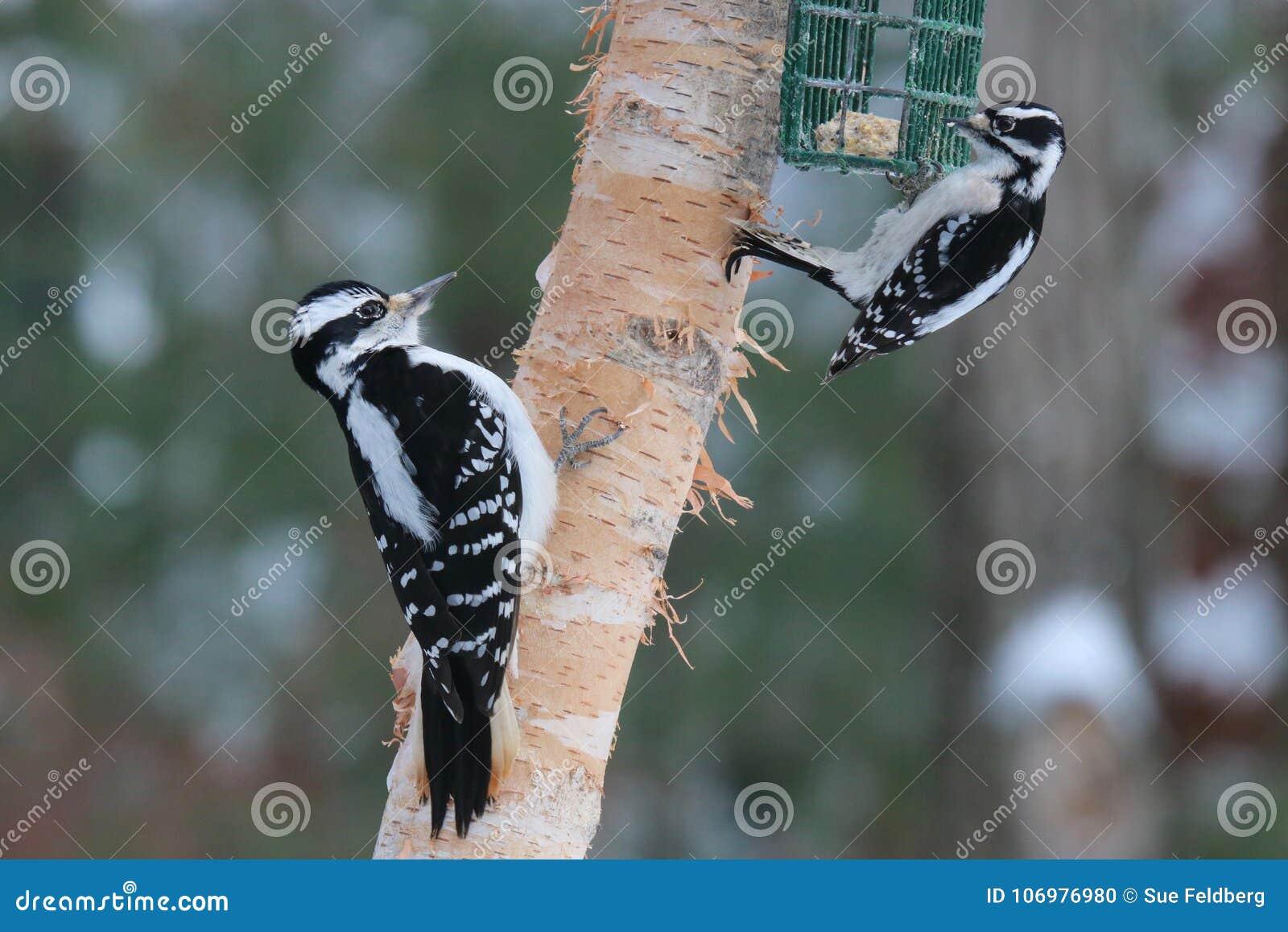 Harig versus Donsachtige Specht op een vogelvoeder in de Winter