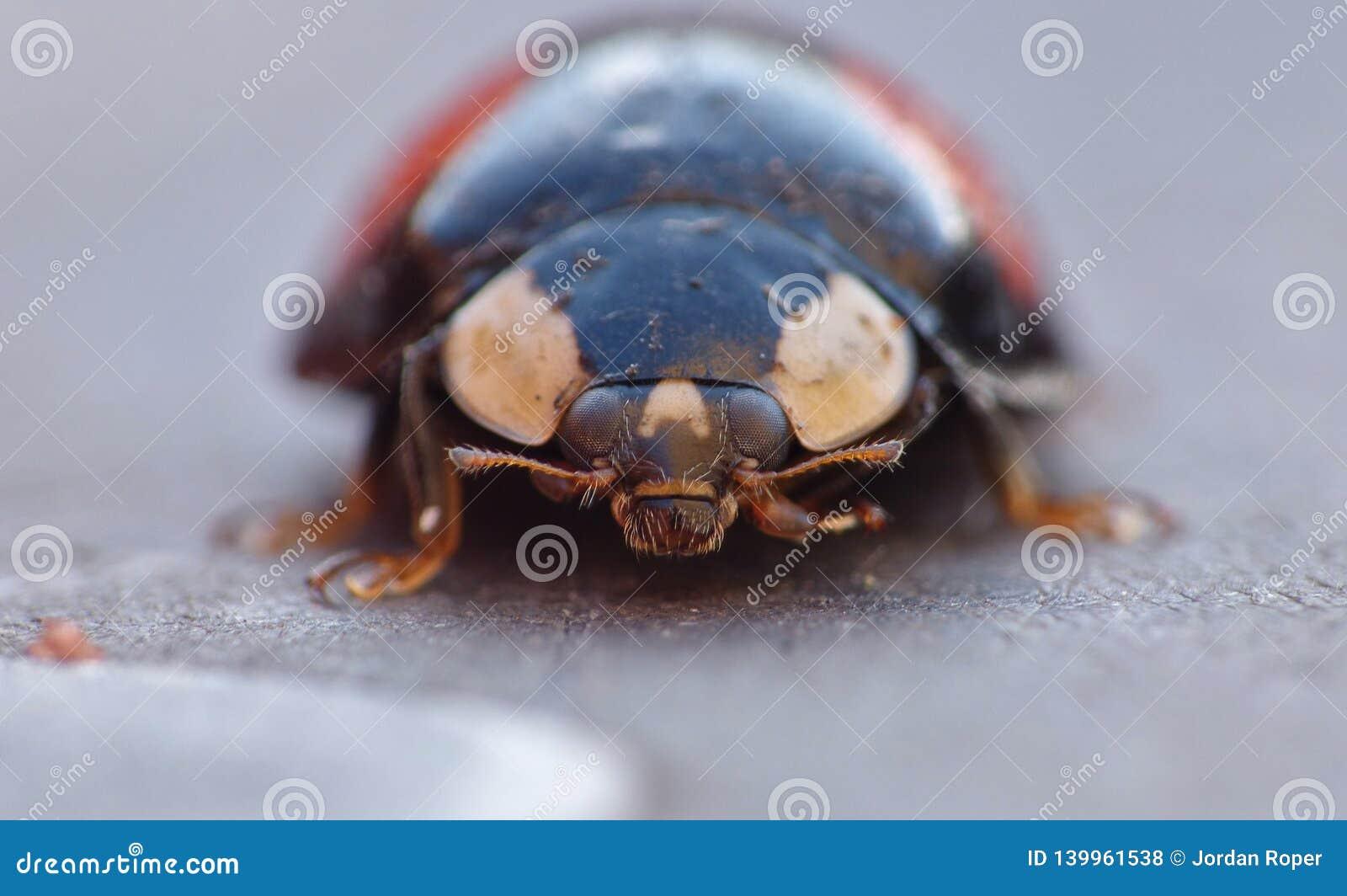 Harlekijnonzelieveheersbeestje Het Caped-het Invallerlieveheersbeestje/Onzelieveheersbeestje - Beeld
