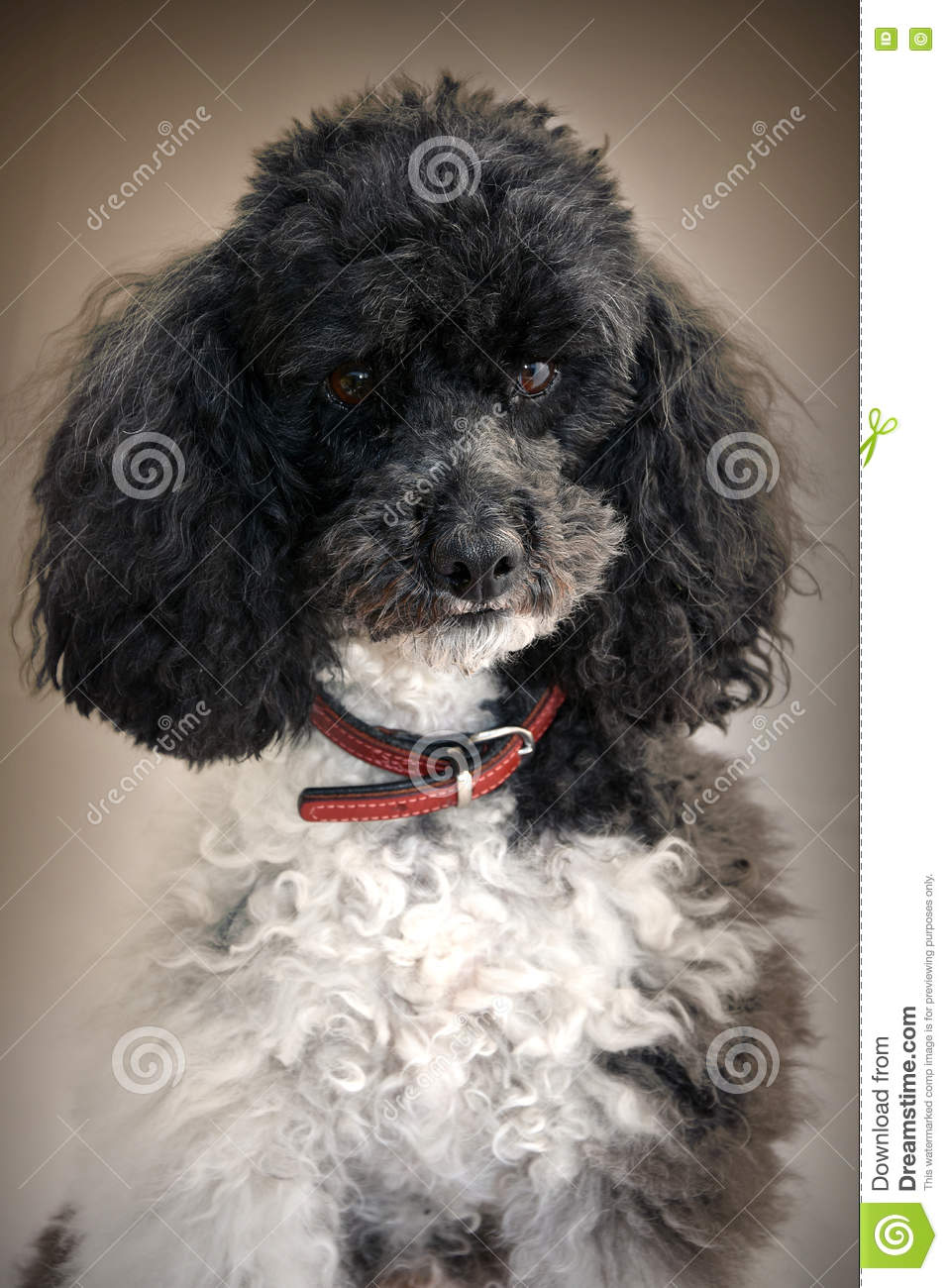 Harlequin poodle stock photo. Image of male, cute, furry ...