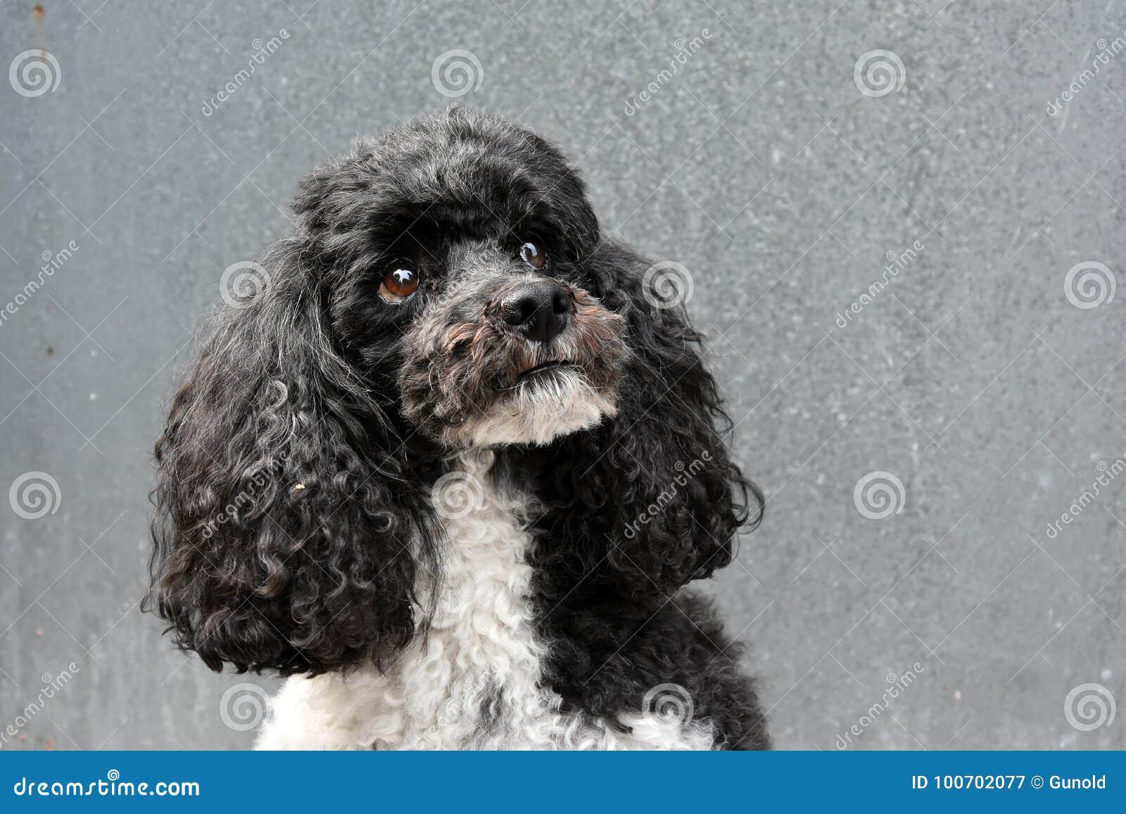 Harlequin poodle