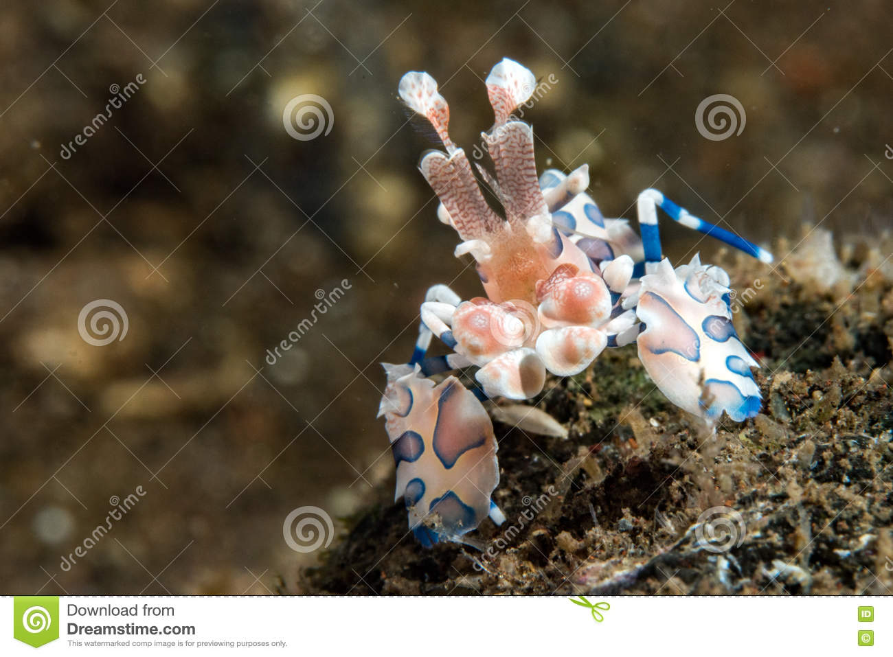 Harlequin crab stock photo. Image of indo, crab, claws 10642318.
