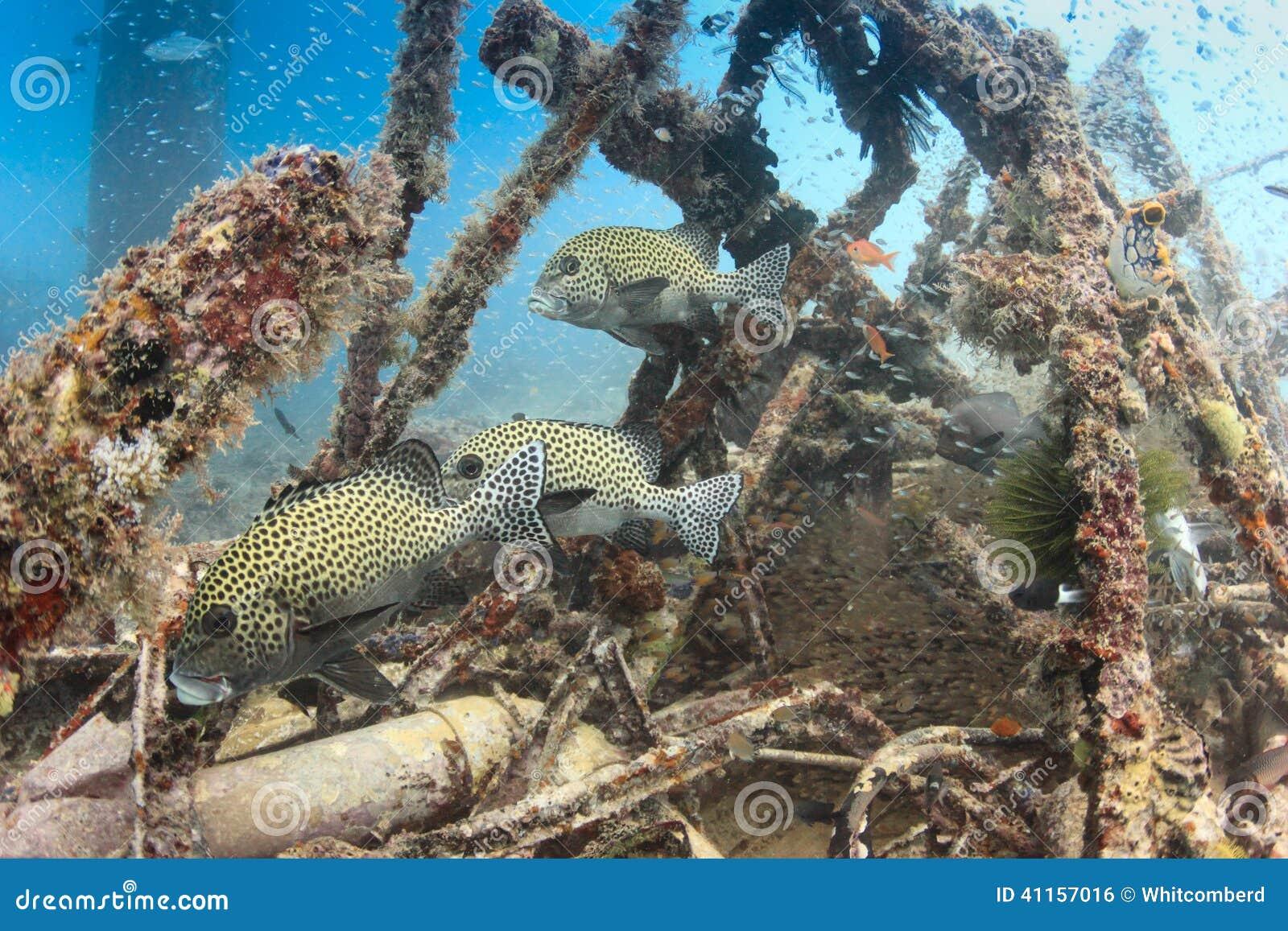 Harlequin Sweetlips et poissons tropicaux sur un naufrage