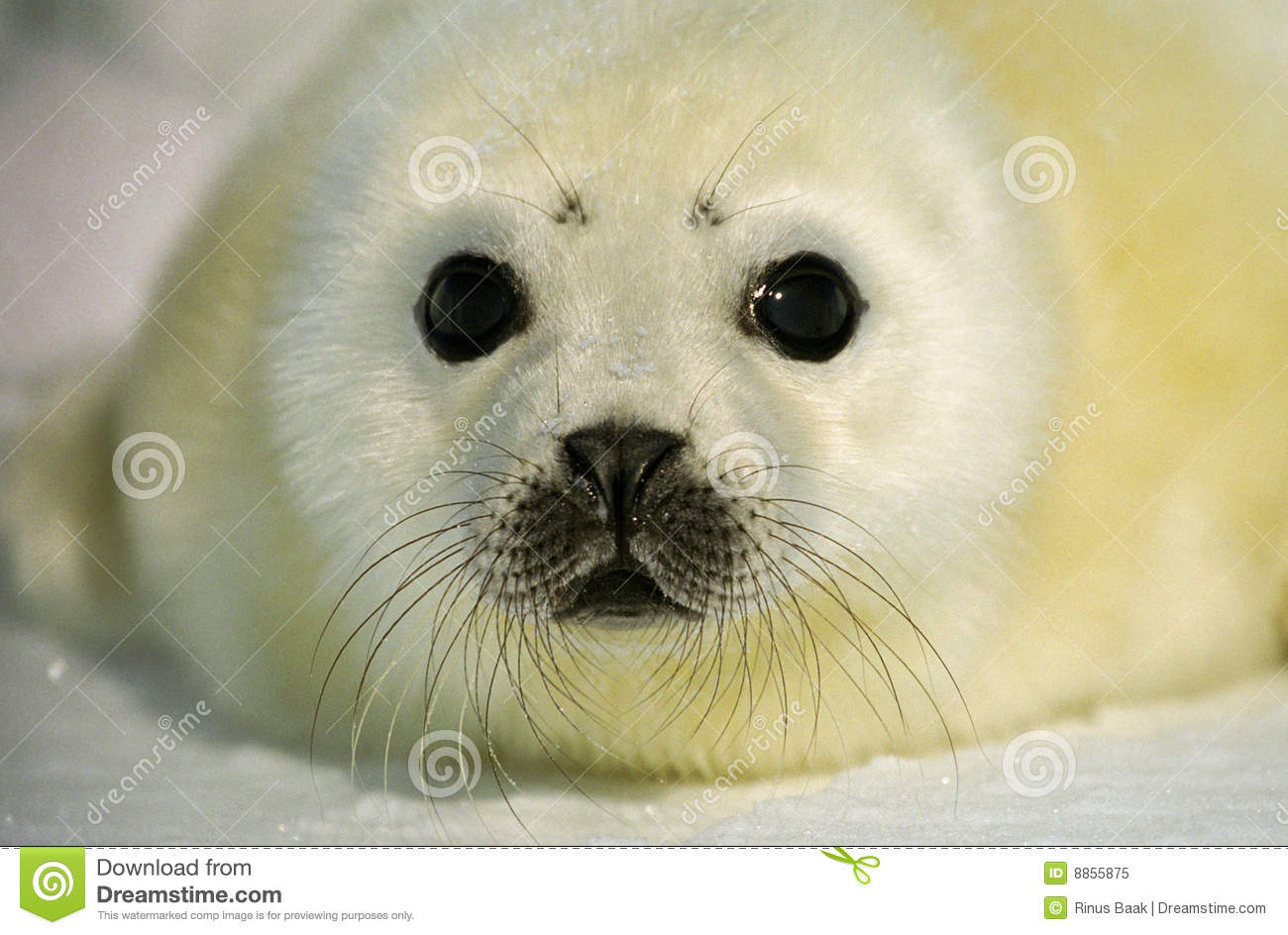 Harp Seal Pup Royalty Free Stock Photo - Image: 8855875
