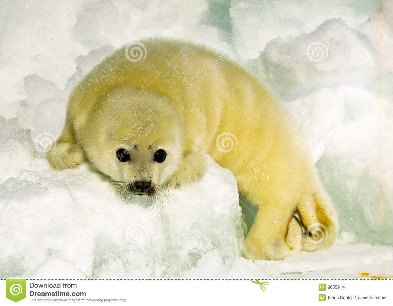 Harp seal pup stock images image 8855914