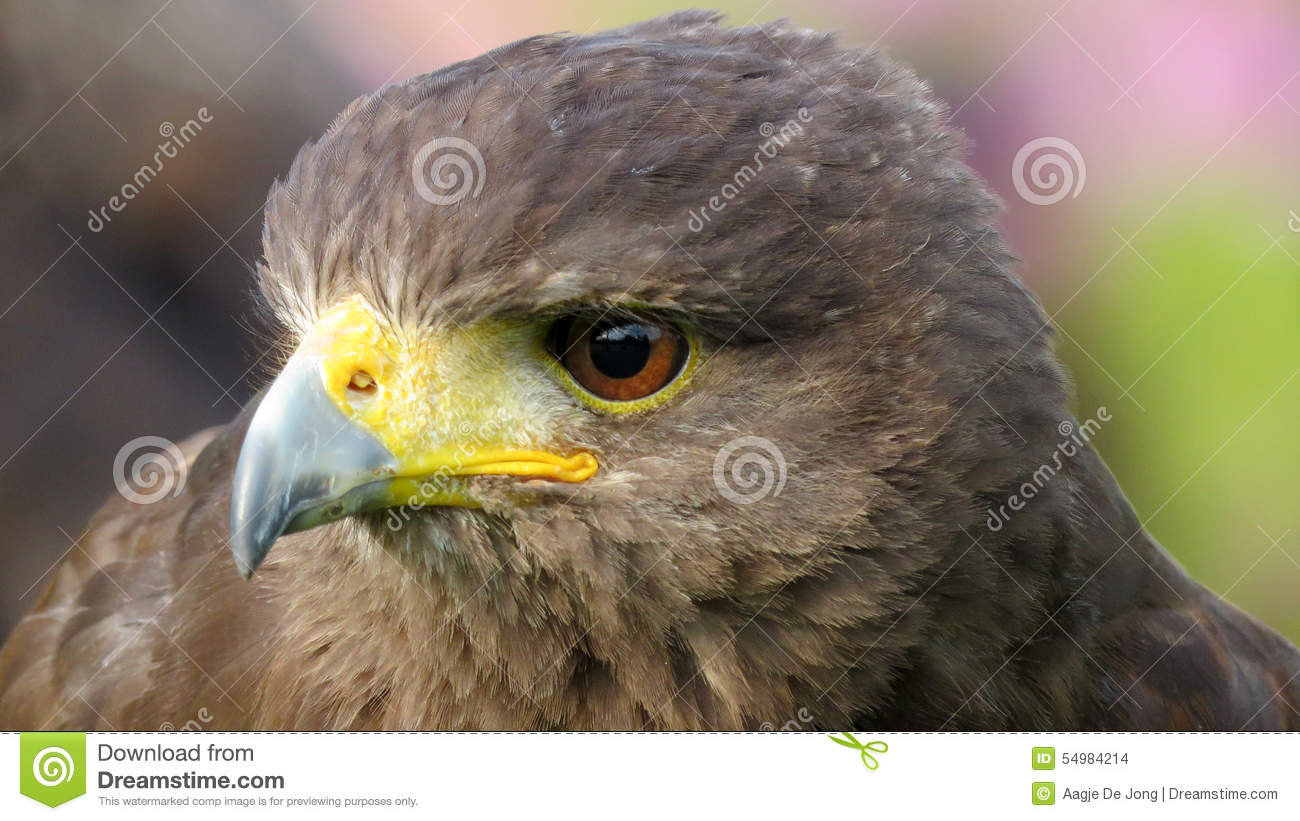 Harris Hawk closeup