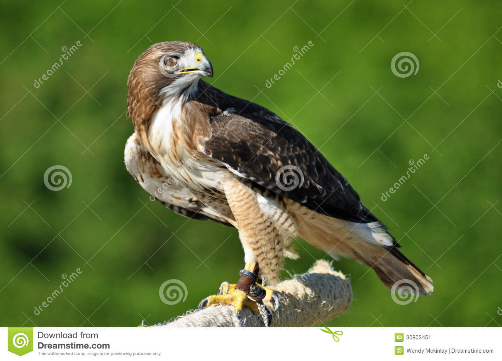 Harris Hawk, der über Schulter schaut