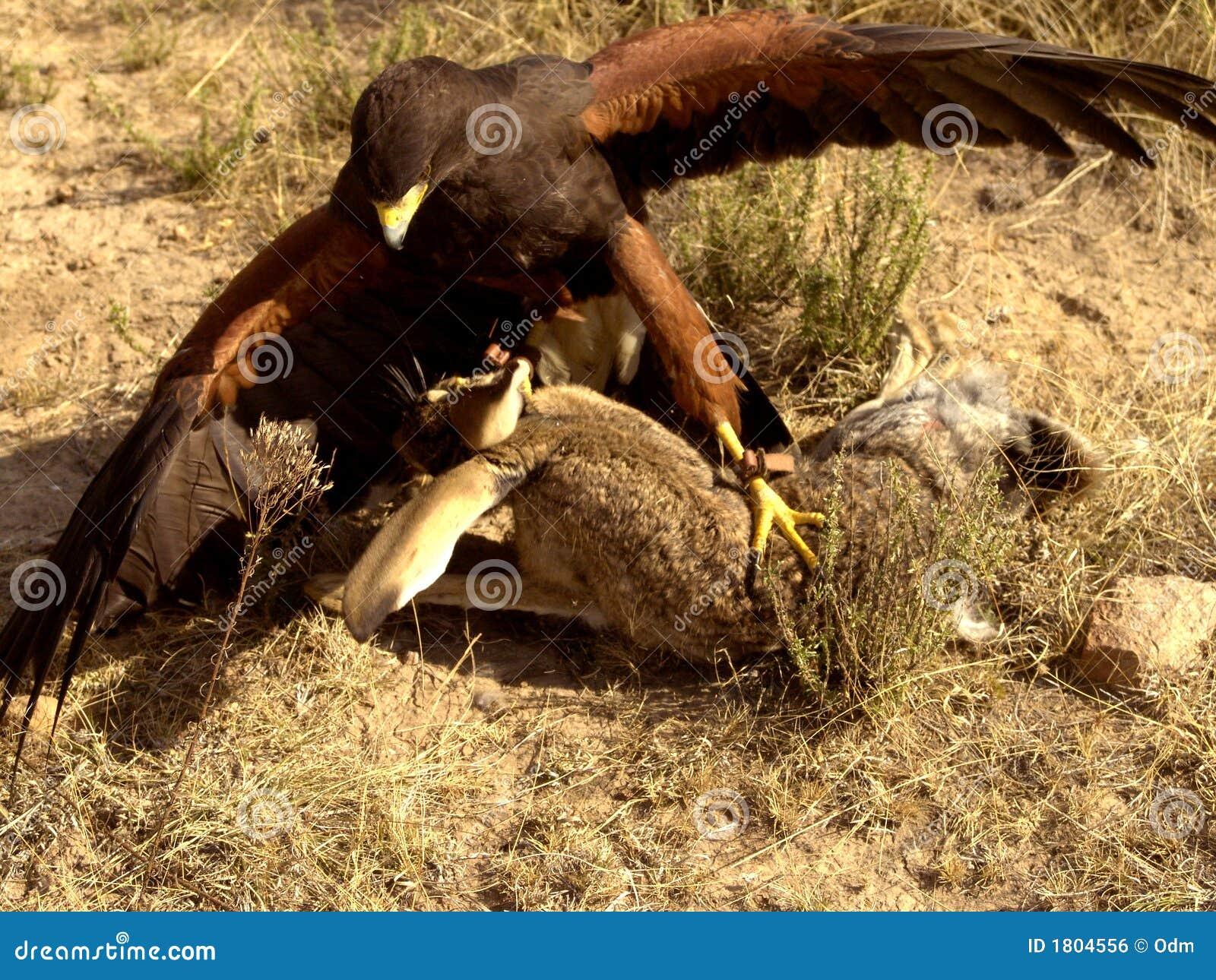 Harris Hawk Fighting Prey