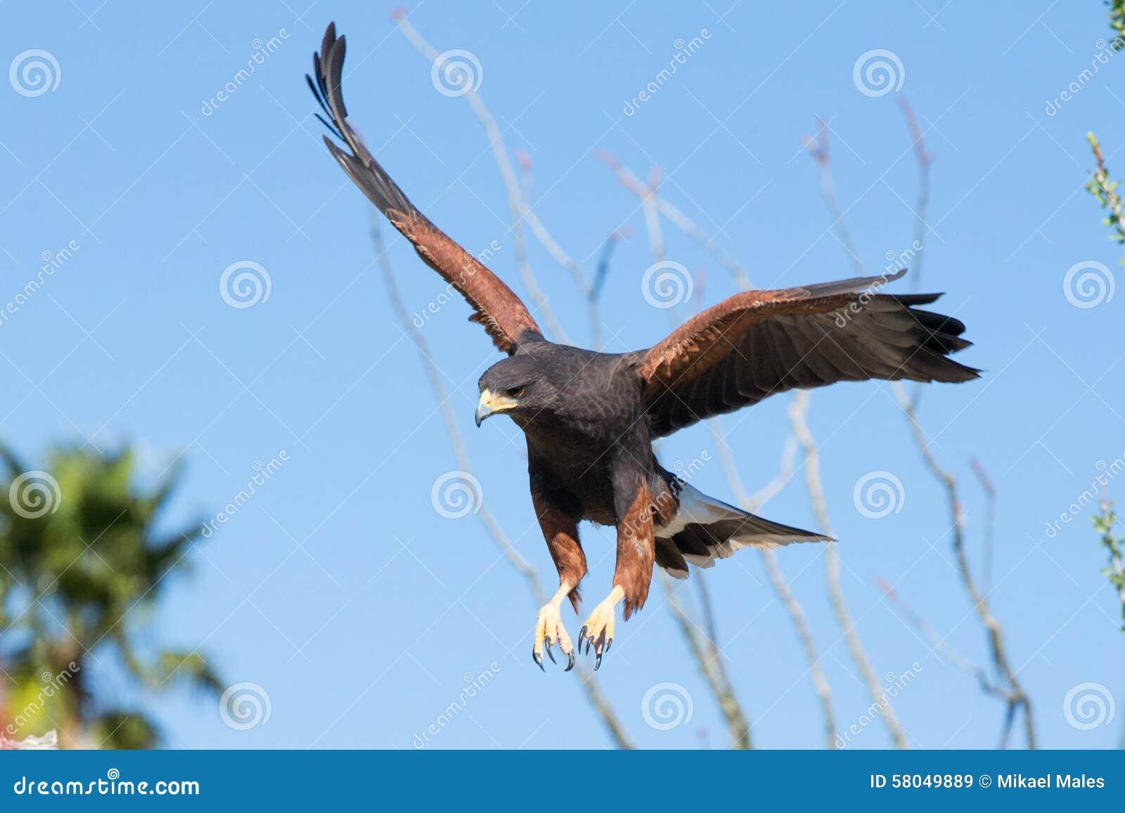 Harris Hawk que desce na rapina