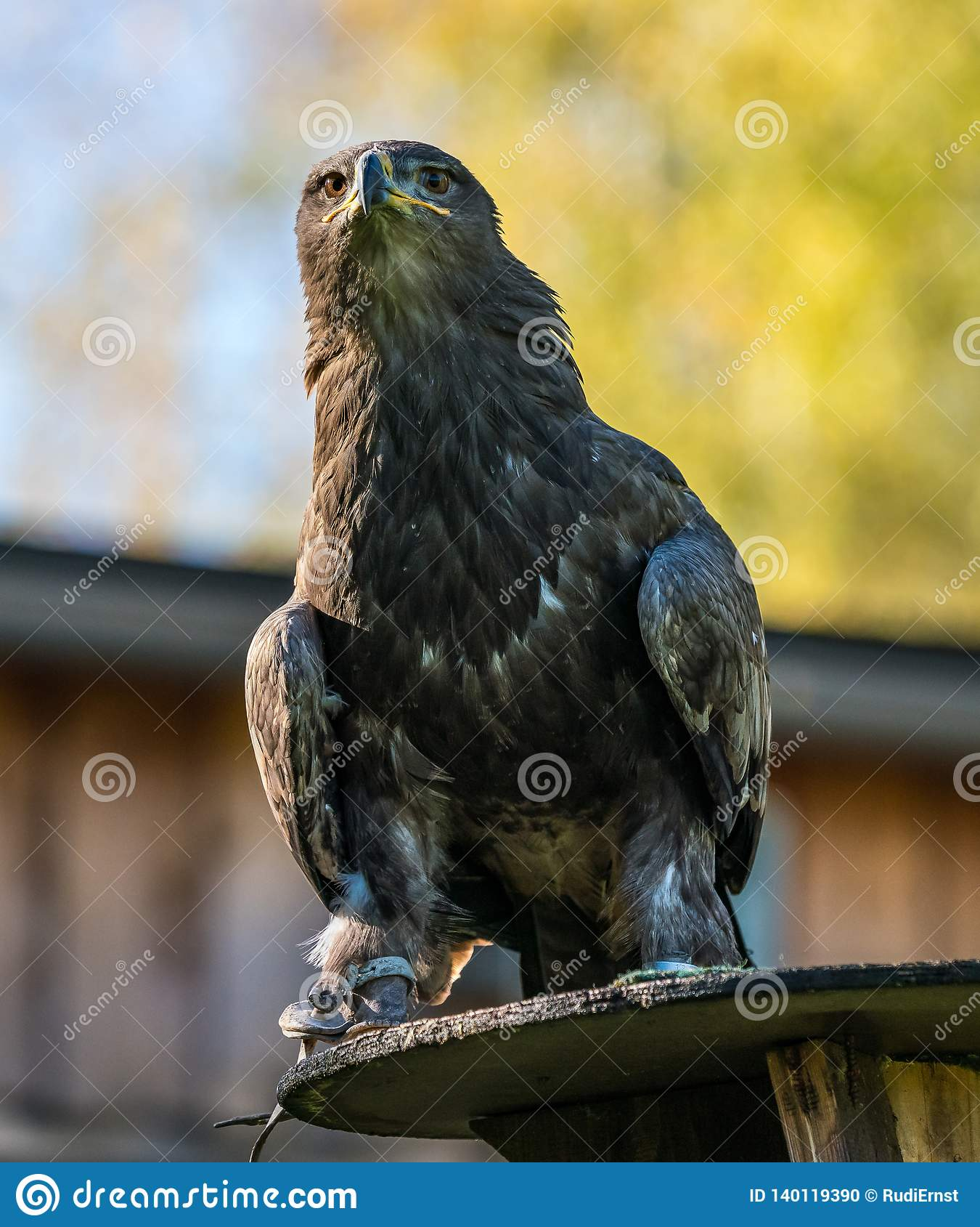 Harris`s hawk, Parabuteo unicinctus, bay-winged hawk or dusky hawk