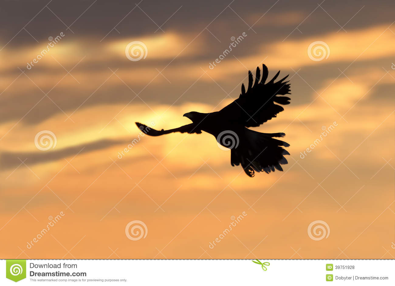 Harris s Hawk (Parabuteo unicinctus).