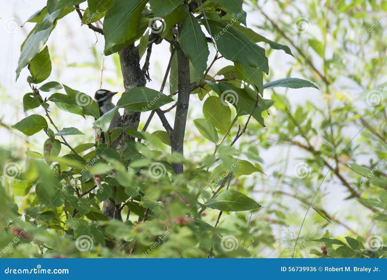 Harry Woodpecker