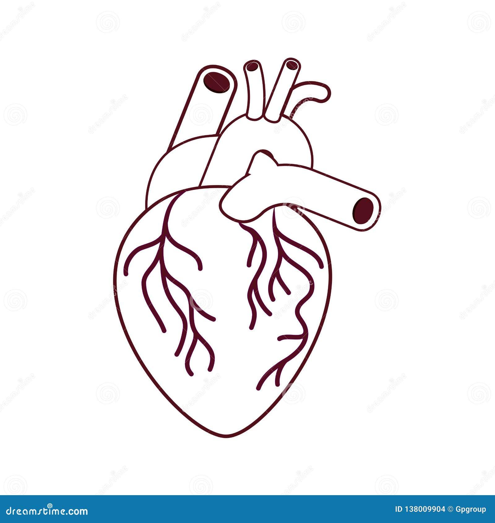 Hart met aders geïsoleerd pictogram