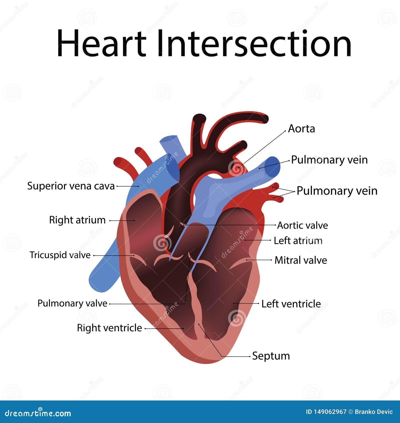 Hartanatomie en types van hartkwaal vectorillustratie