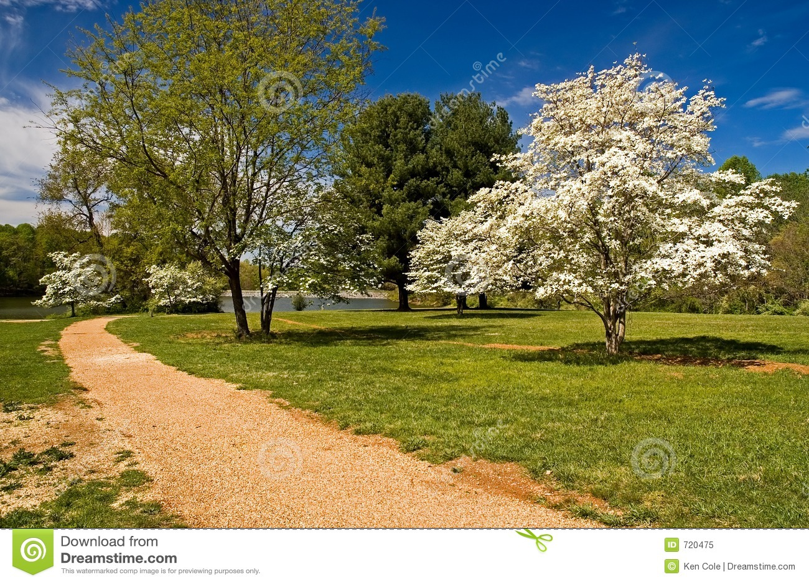 Hartriegel-Bäume in der Blüte