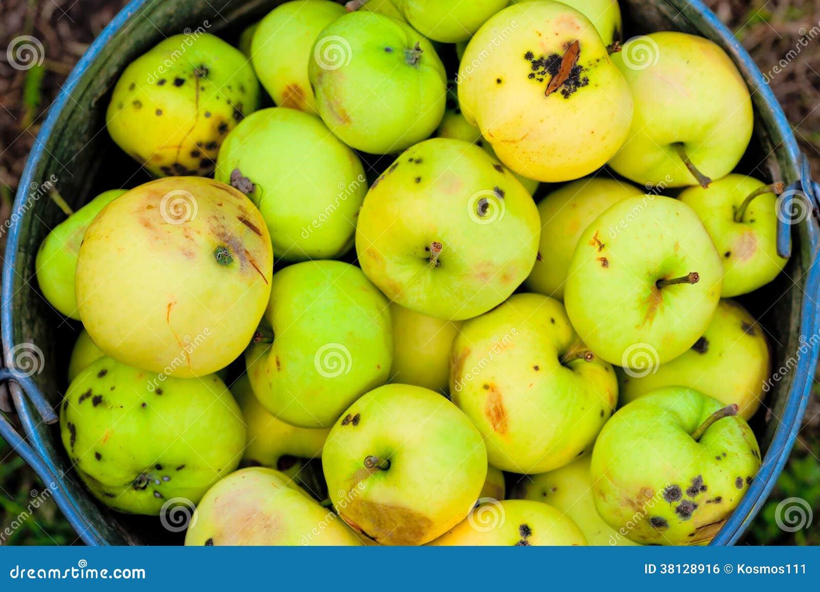 Harvest broken and bad apples in bucket