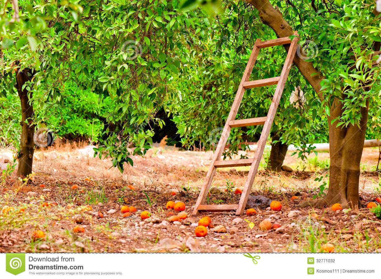 Harvest on orange citrus trees in the garden and a staircase