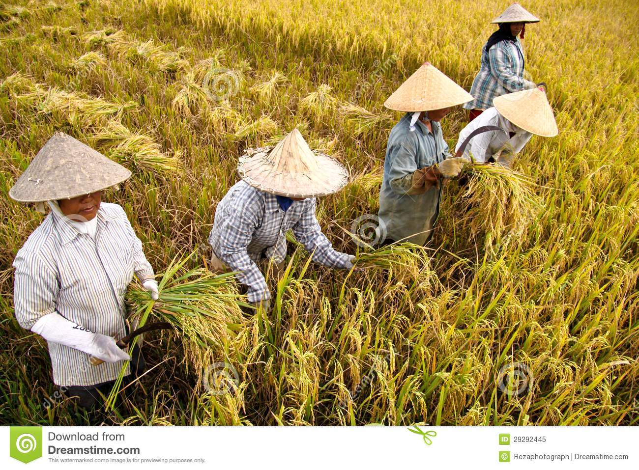 Rice production in Thailand