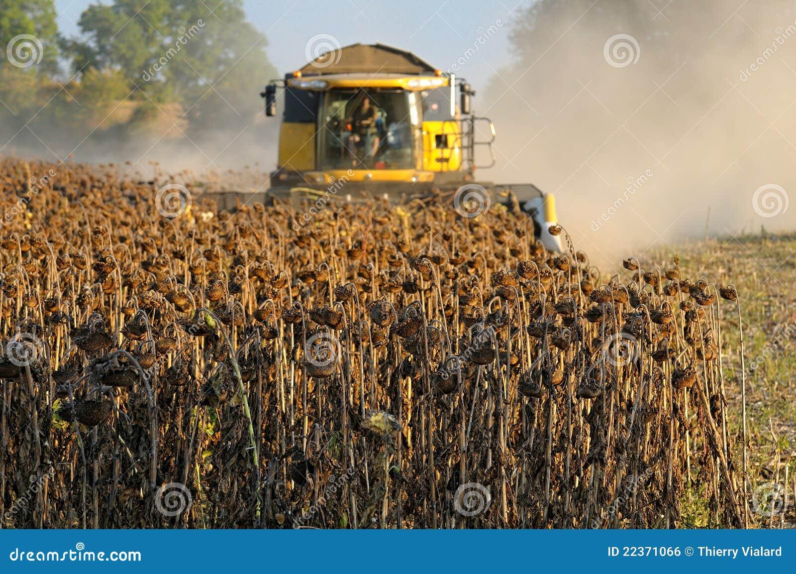 sunflower harvesting machine