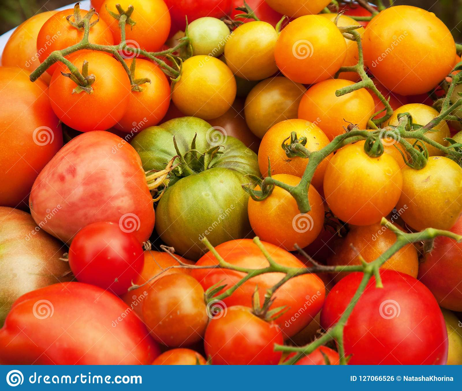 Harvest Tomatoes Vegetables Autumn Garden Plants Fall Stock Photo