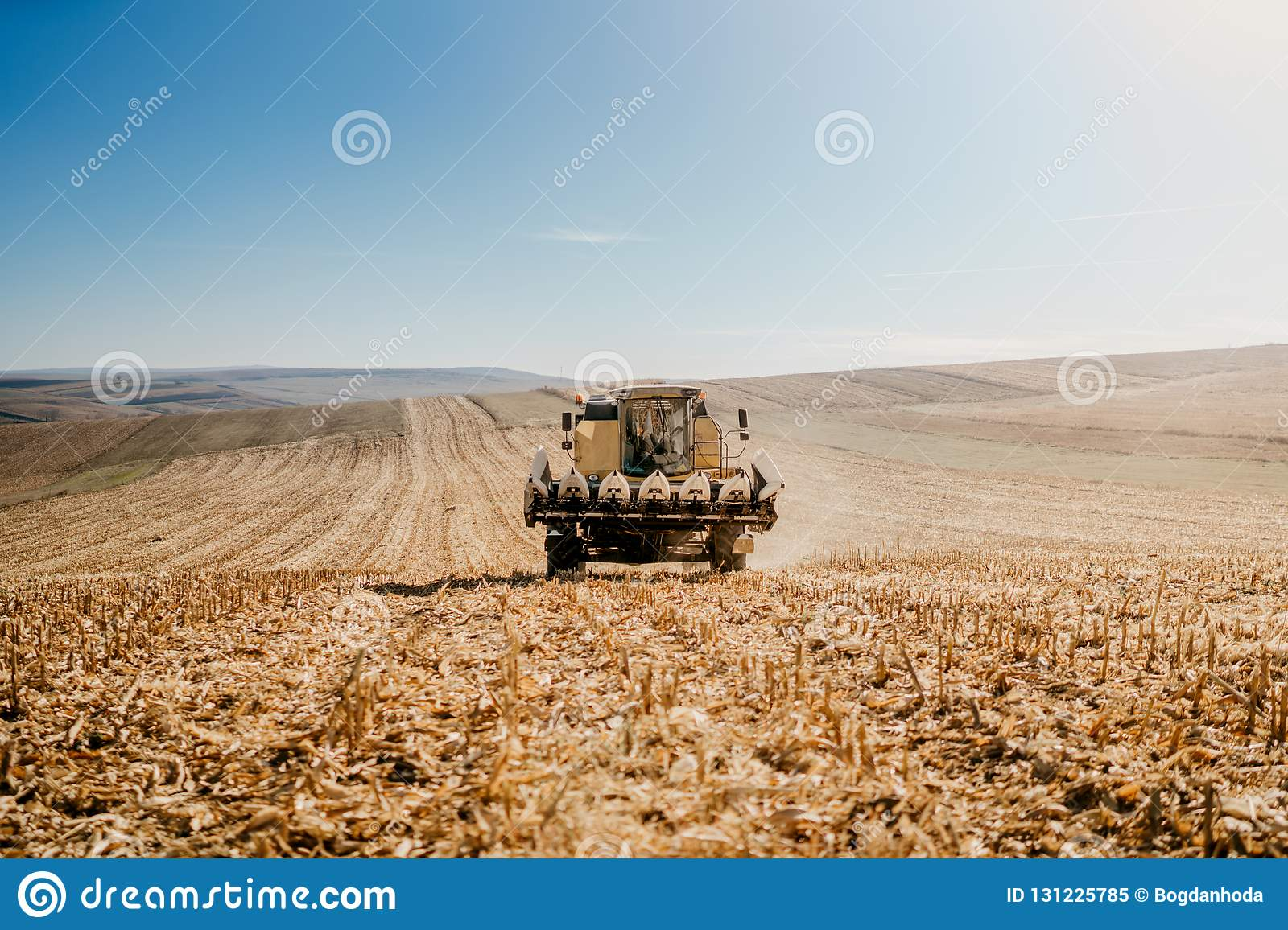 Harvester in the field. General corn and wheat landscape