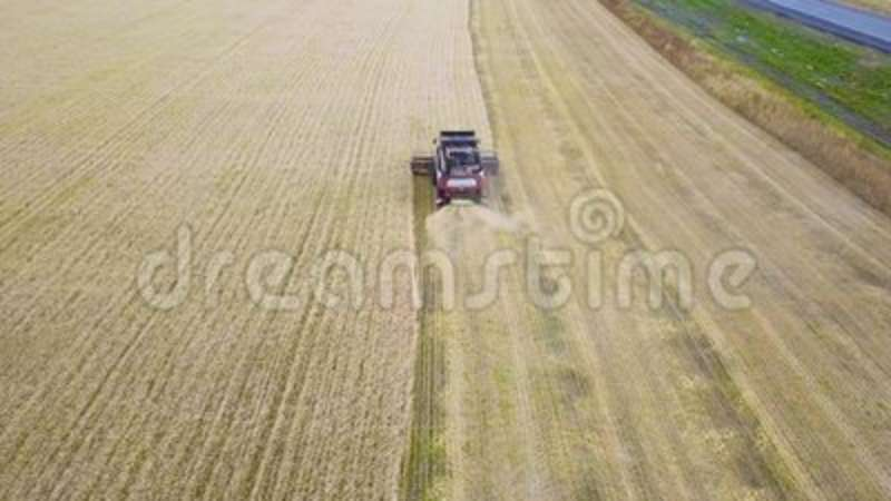 Harvester machine to harvest wheat field working. Combine harvester agriculture machine harvesting golden ripe wheat. Field. Agriculture. Aerial view stock video footage